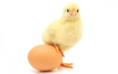 En Internet es Importante Saber qué fue Primero: ¿El Huevo o la Gallina?