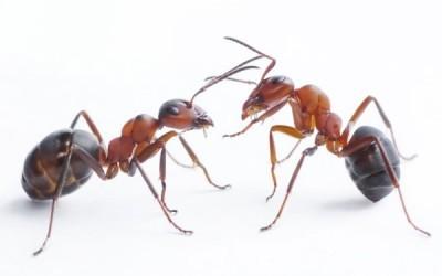 ¿Cuando fue la última vez que comiste hormigas? (en serio)